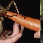 The Giant Weta – The Heaviest Insect on Earth