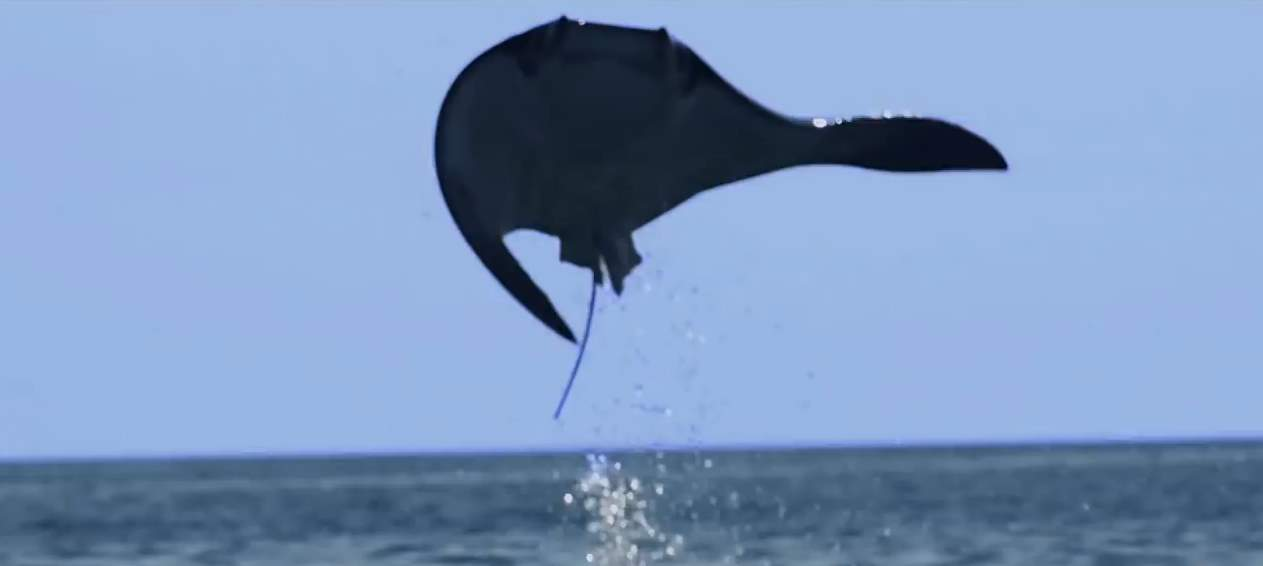 A flying mobula ray at Baja California coast