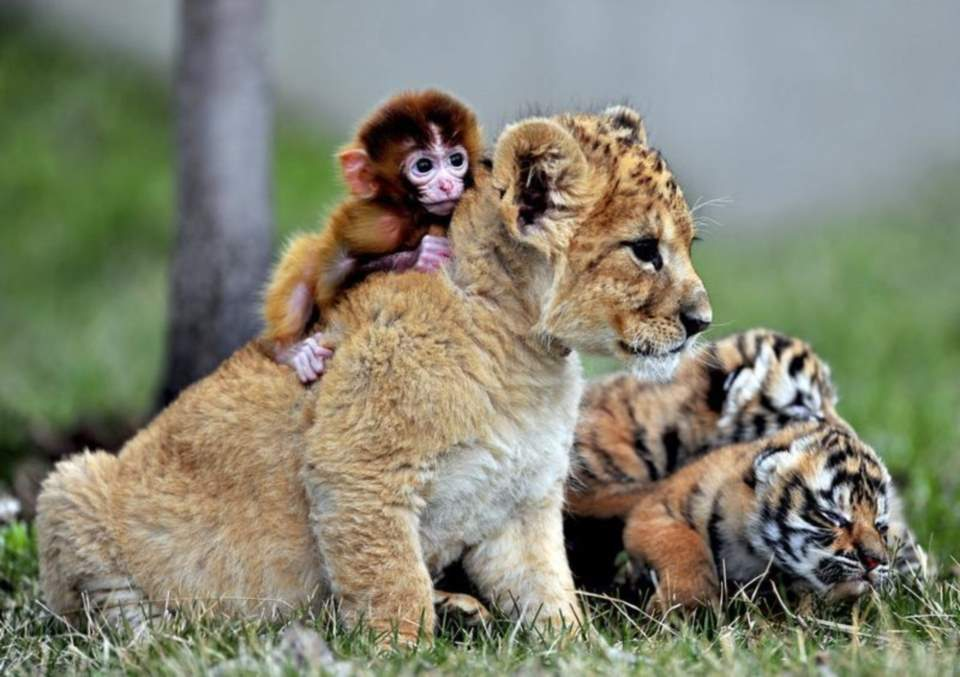 A baby monkey playing with a lion cub at Guaipo Manchurian Tiger Park in Shenyang,