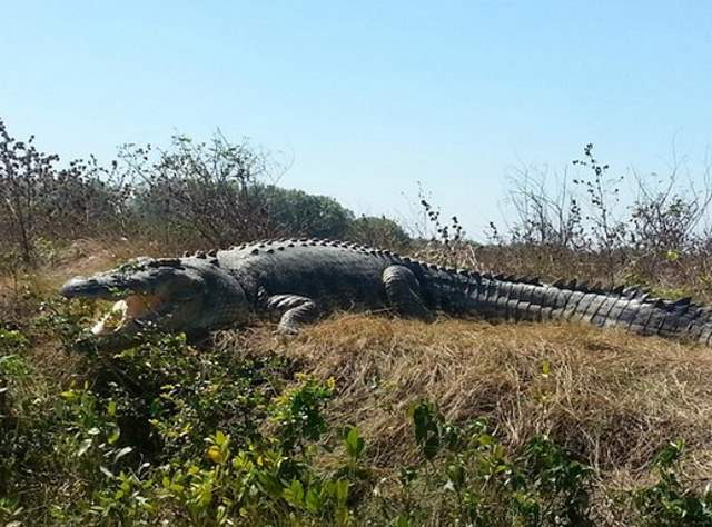 Largest Crocodiles Ever Recorded: Dominator, the saltwater giant