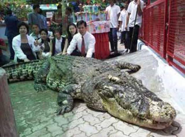 Largest Crocodiles Ever Recorded: Yai, the hybrid Siamestuary crocodile (June 2012)