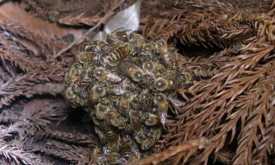 Japanese Honeybee thermal defence against Japanese giant hornet