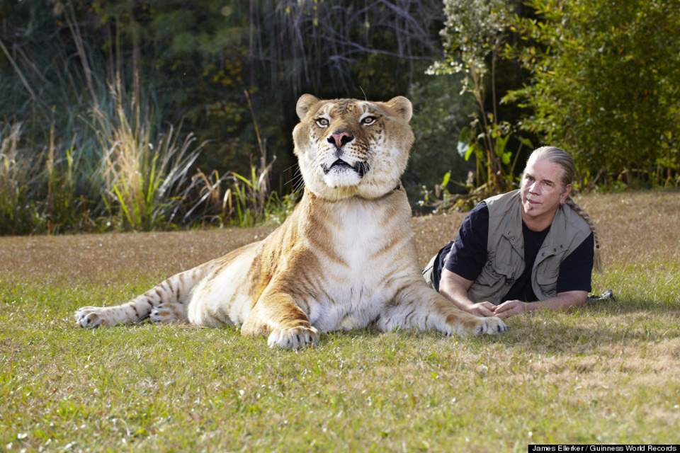 Hercules, the liger, with his trainer