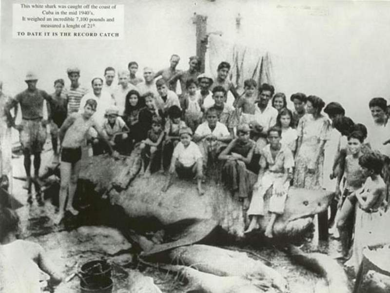 Largest great white sharks: The Cuba Great White Shark (1945)