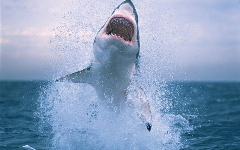 Largest fish species No. 6: Great White Shark