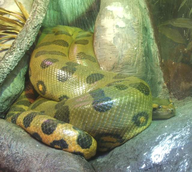 Largest snake species: Green anaconda (Eunectes murinus)