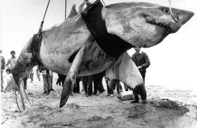Largest great white sharks: the great white shark caught by Vic Hislop in 1985