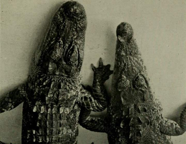 Alligator and Crocodile heads