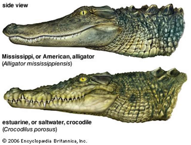 Alligator and Crocodile - teeth placement