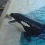 Watch: Killer Whale uses a bait fish to hunt a bird