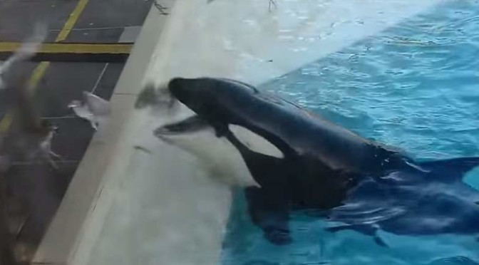 Kasatka the orca hunts a bird