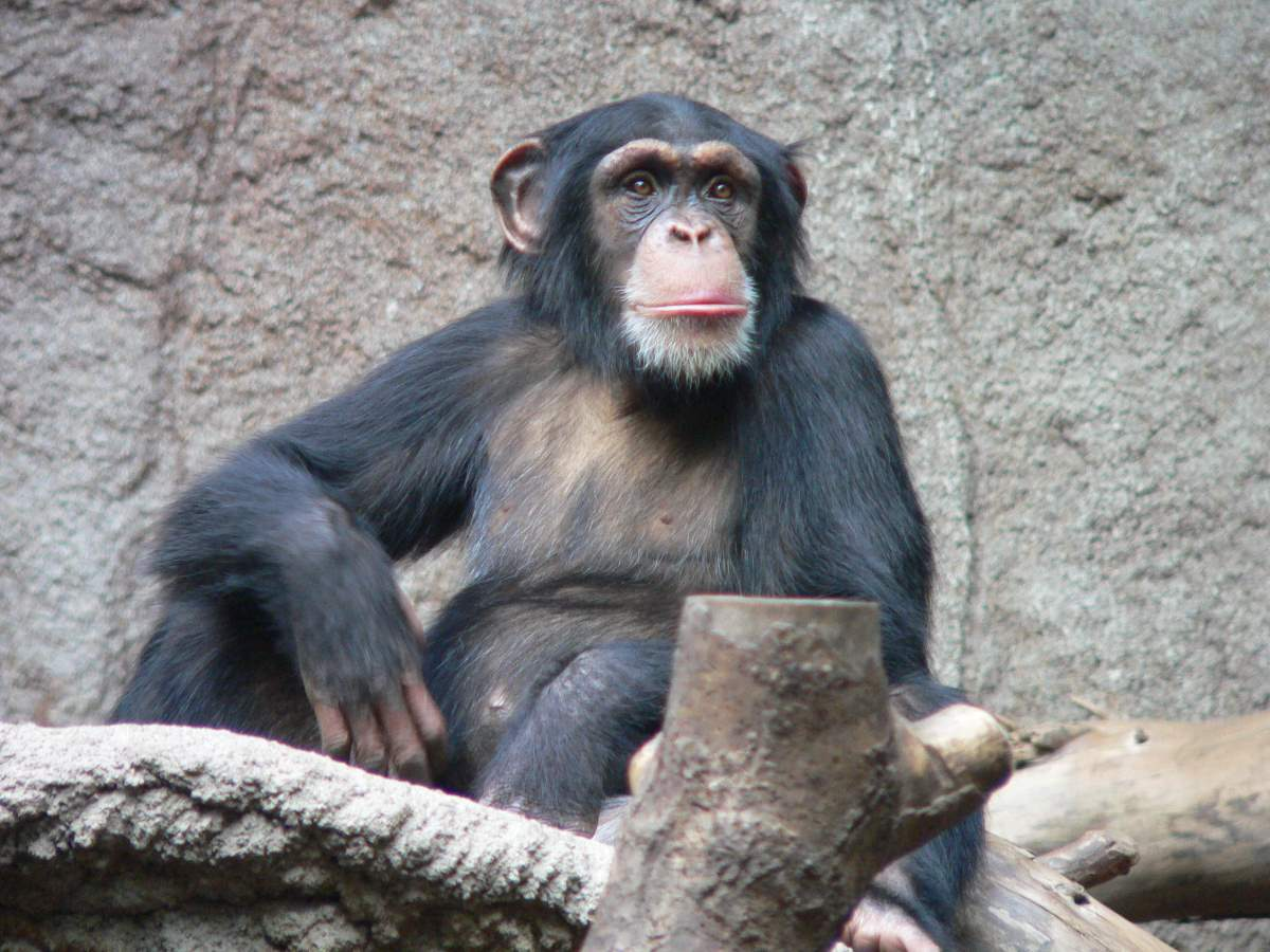 Why chimpanzees stronger than humans?