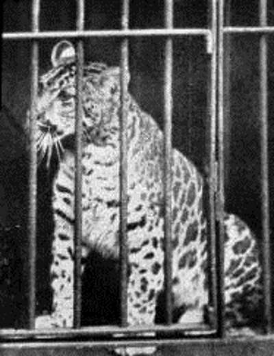 Hybrid Big Cats: Pumapard (1904)