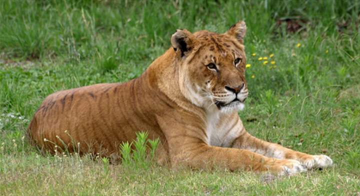Hybrid Big Cats: Tigon
