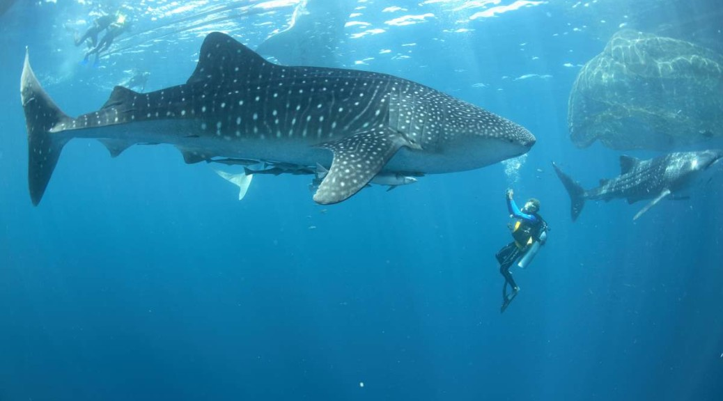 largest whale shark - photo #20