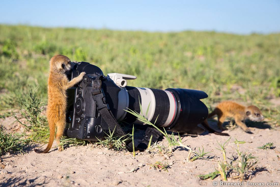 Photographers and Wild Animals: Baby meerkats and camera