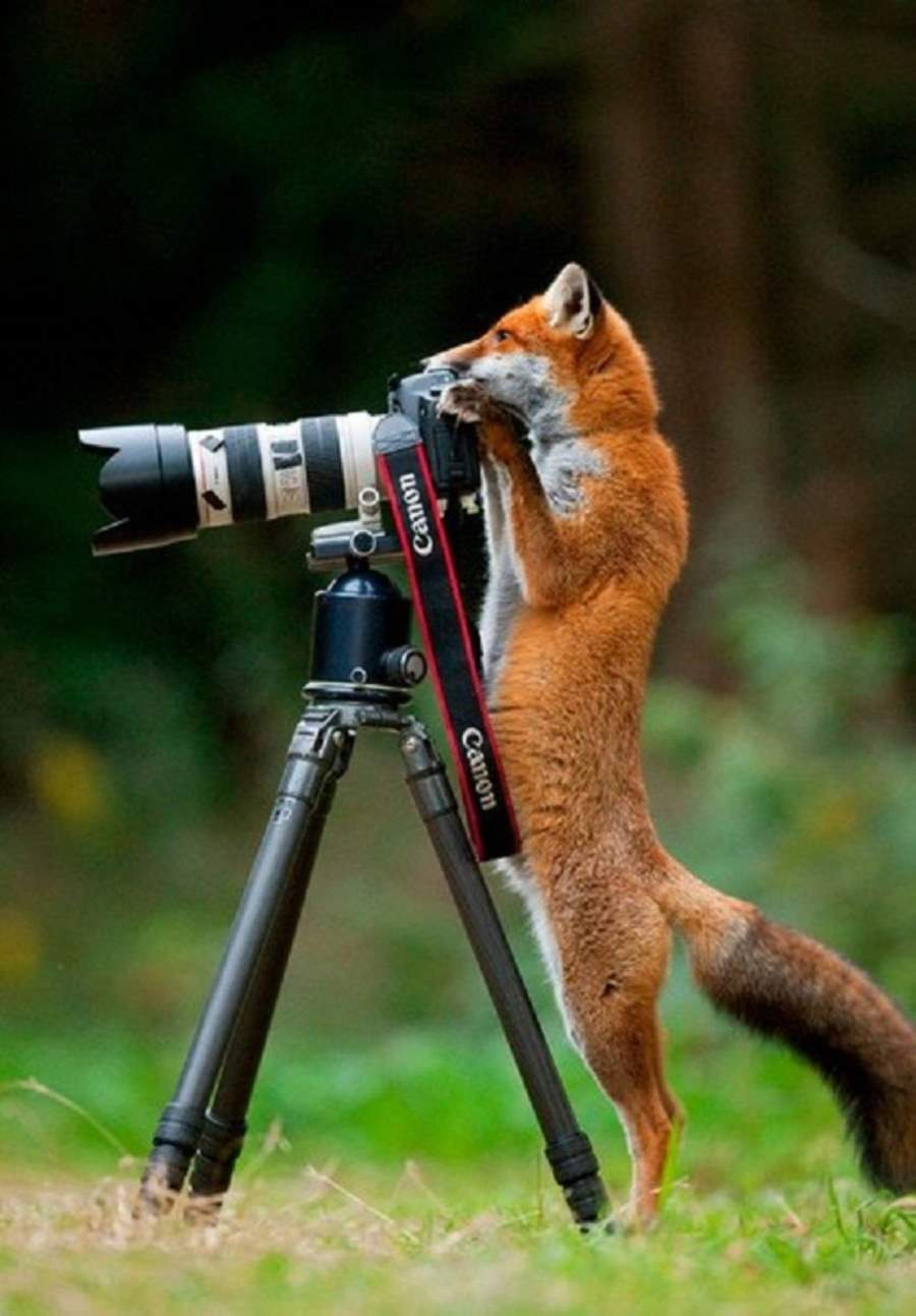 Photographers and Wild Animals: A fox and a camera