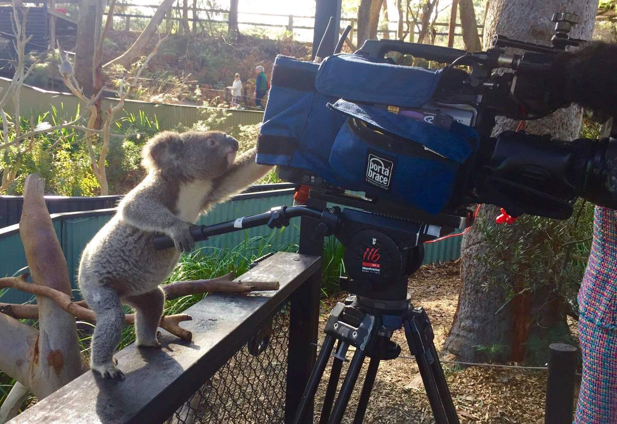 Photographers and Wild Animals: A Koala and a video camera