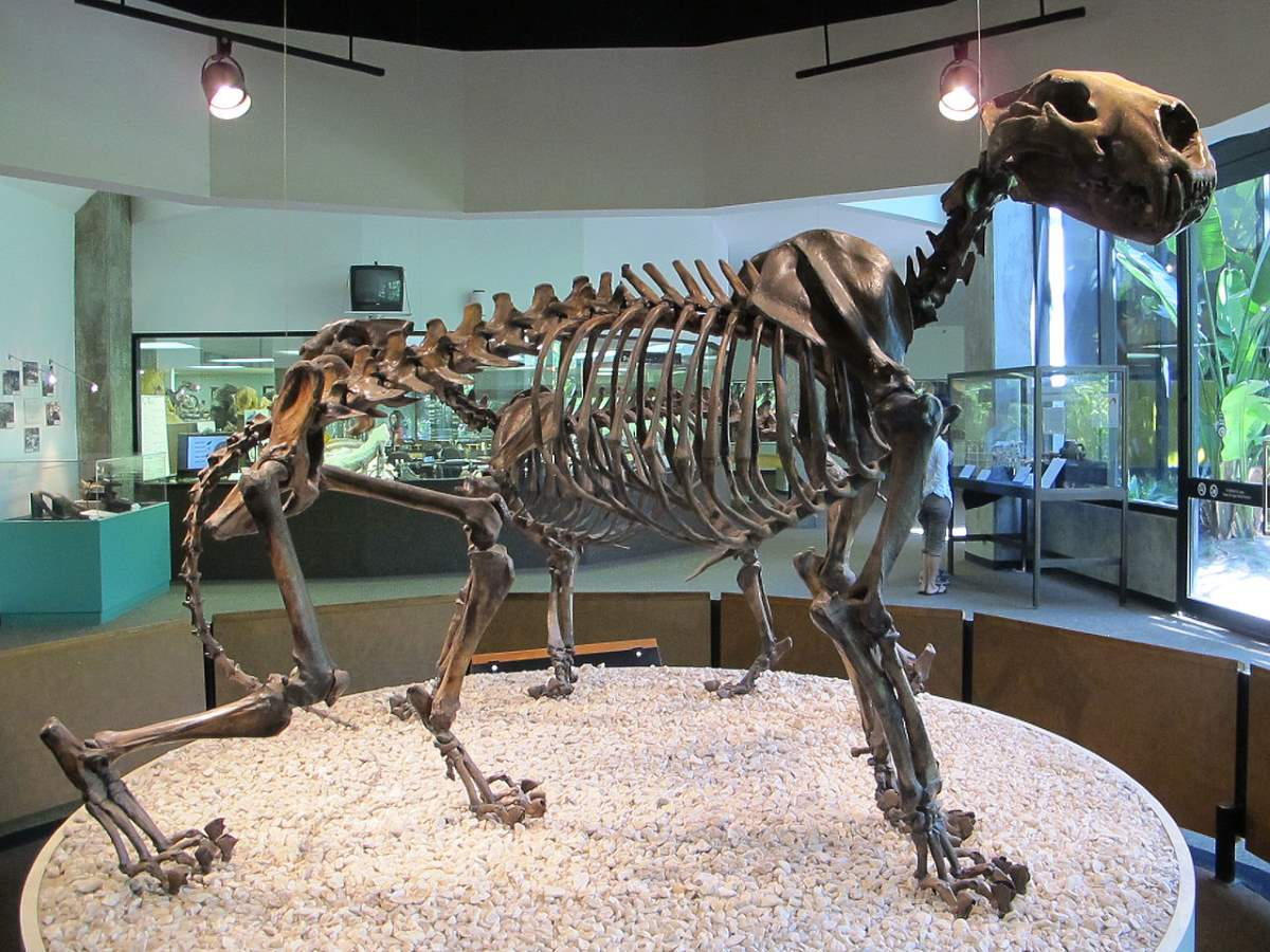 Largest prehistoric cats: Panthera atrox (American lion) skeleton