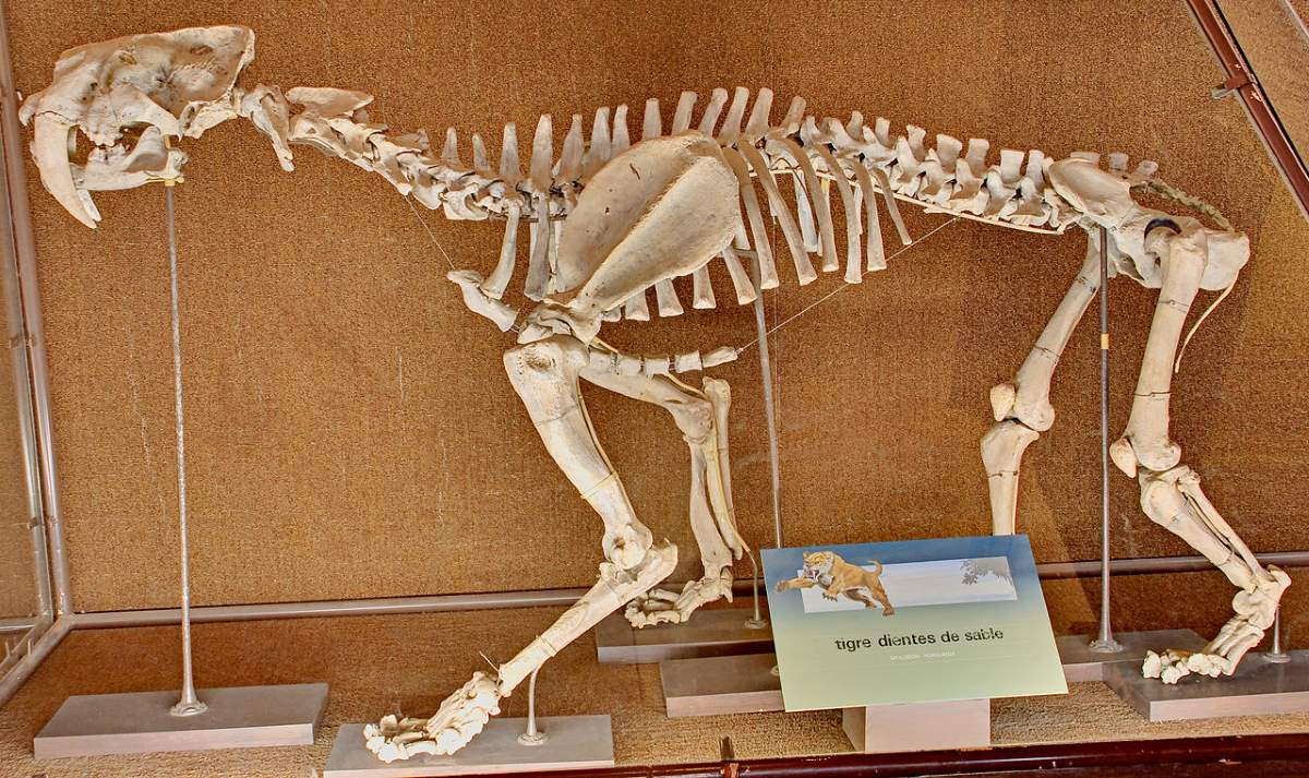 Largest prehistoric cat: Smilodon populator skeleton