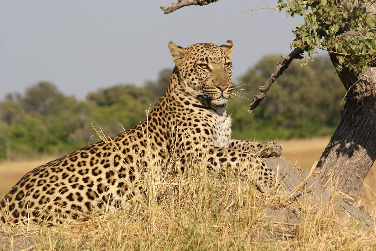 Most powerful bite forces in carnivore land mammals: African Leopard