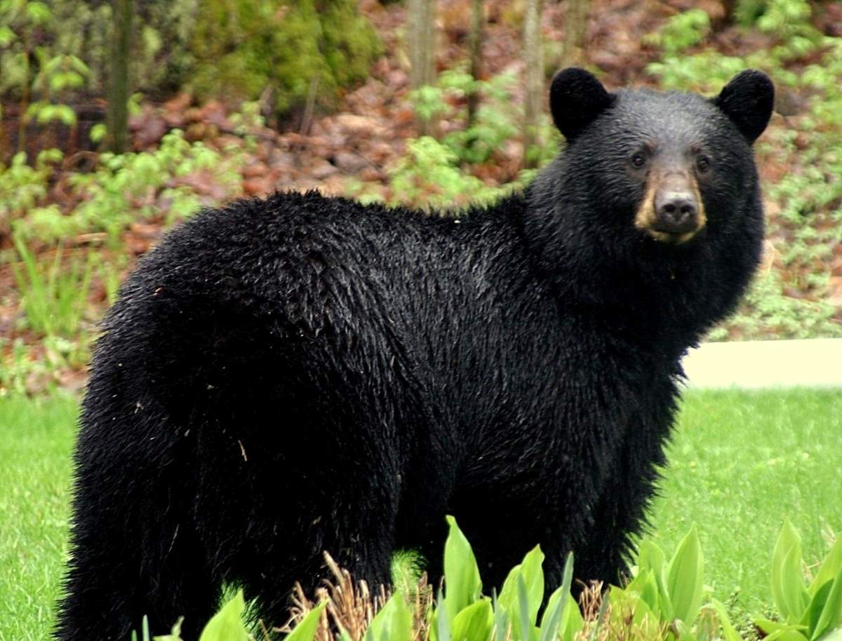 Most powerful bite forces in carnivore land mammals: American Black Bear
