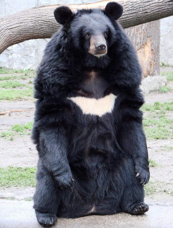 Most powerful bite forces in carnivore land mammals: Asian Black Bear