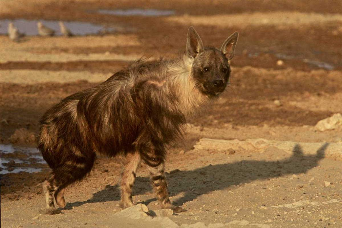 Most powerful bite forces in carnivore land mammals - Brown Hyena