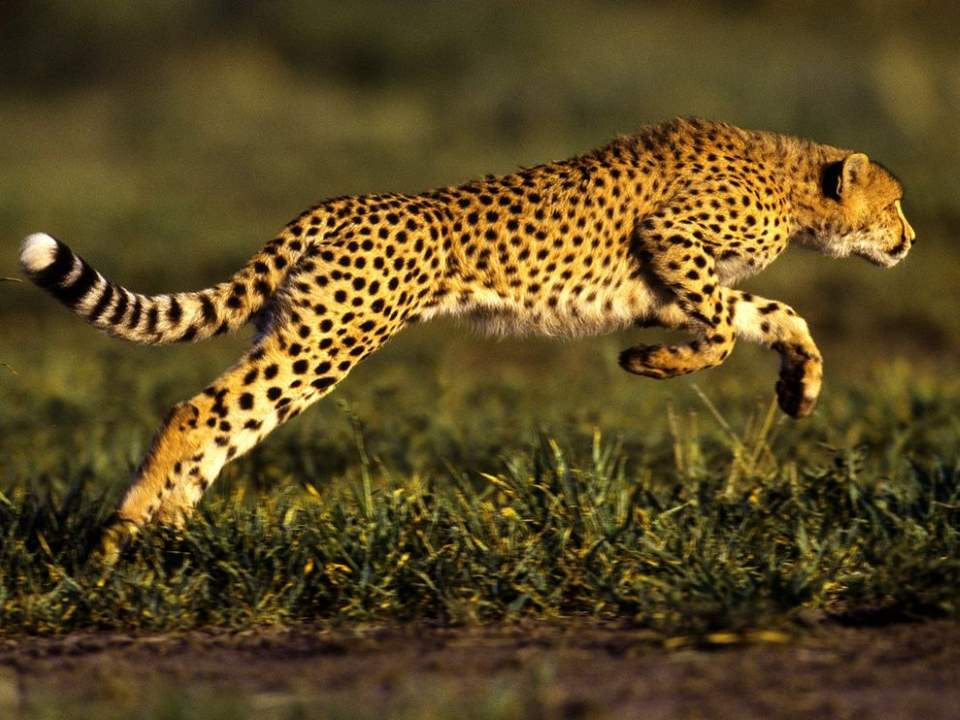 Most powerful bite forces in carnivore land mammals: Cheetah