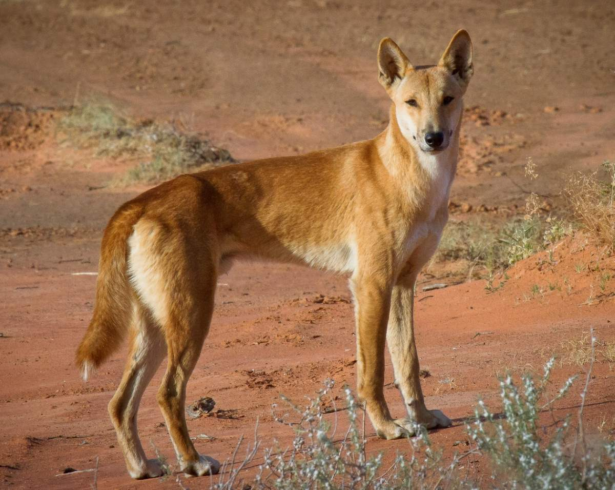 Most powerful bite forces in carnivore land mammals: A Dingo in the Central Australia