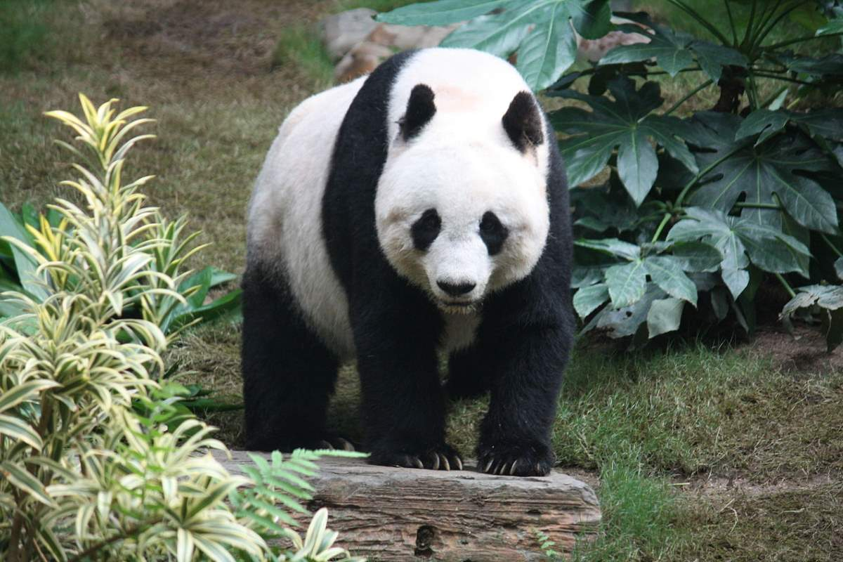 Most powerful bite forces in carnivore land mammals: Giant Panda