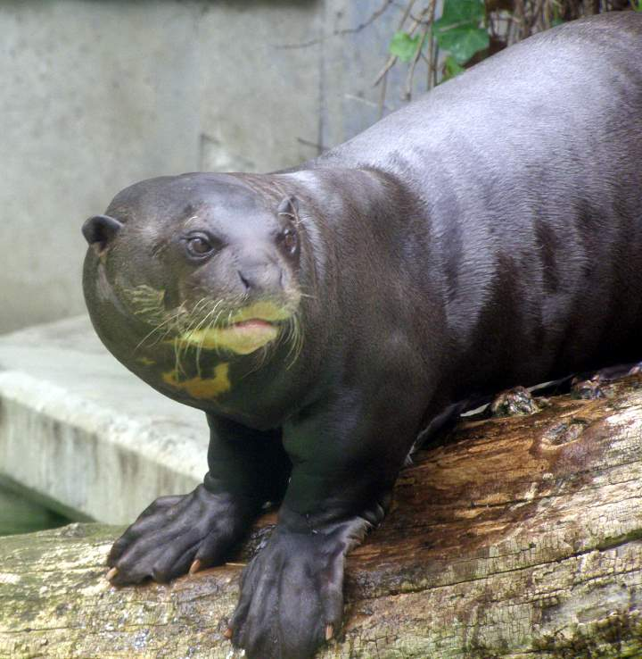 Most powerful bite forces in carnivore land mammals: Giant Otter