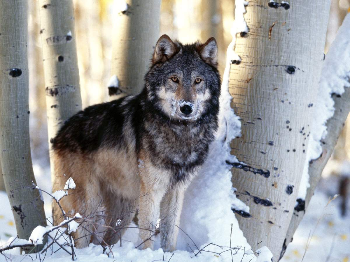 Most powerful bite forces in carnivore land mammals: Gray Wolf