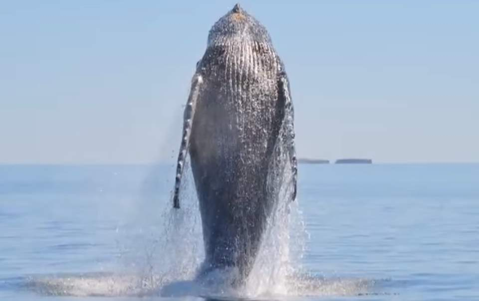 Humpback Whale Shows Appreciation After Being Freed From Nets