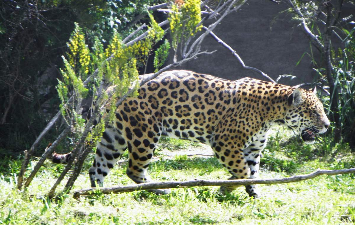Most powerful bite forces in carnivore land mammals: Jaguar (Panthera onca)