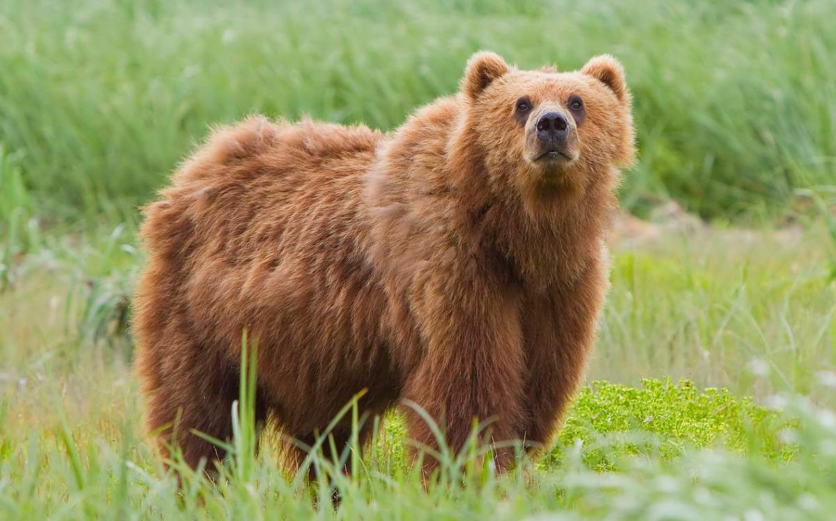 Most powerful bite forces in carnivore land mammals: Kodiak Bear