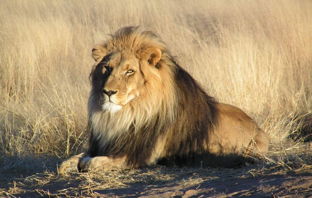 Most powerful bite forces in carnivore land mammals: Male Lion