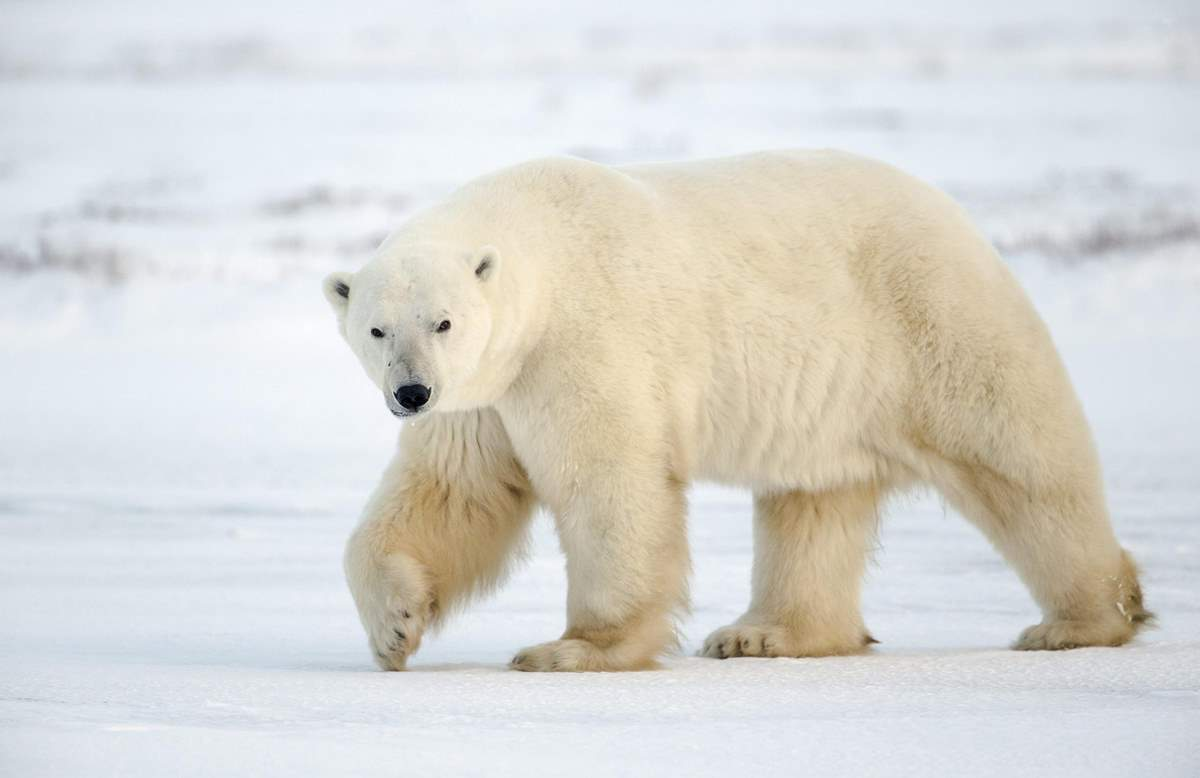 Most powerful bite forces in carnivore land mammals: Polar Bear