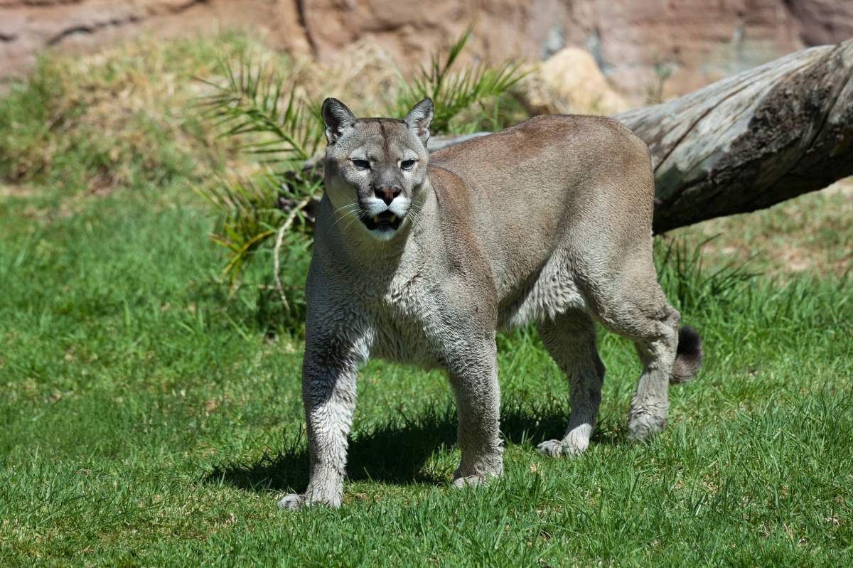 Most powerful bite forces in carnivore land mammals: Puma concolor (Cougar)