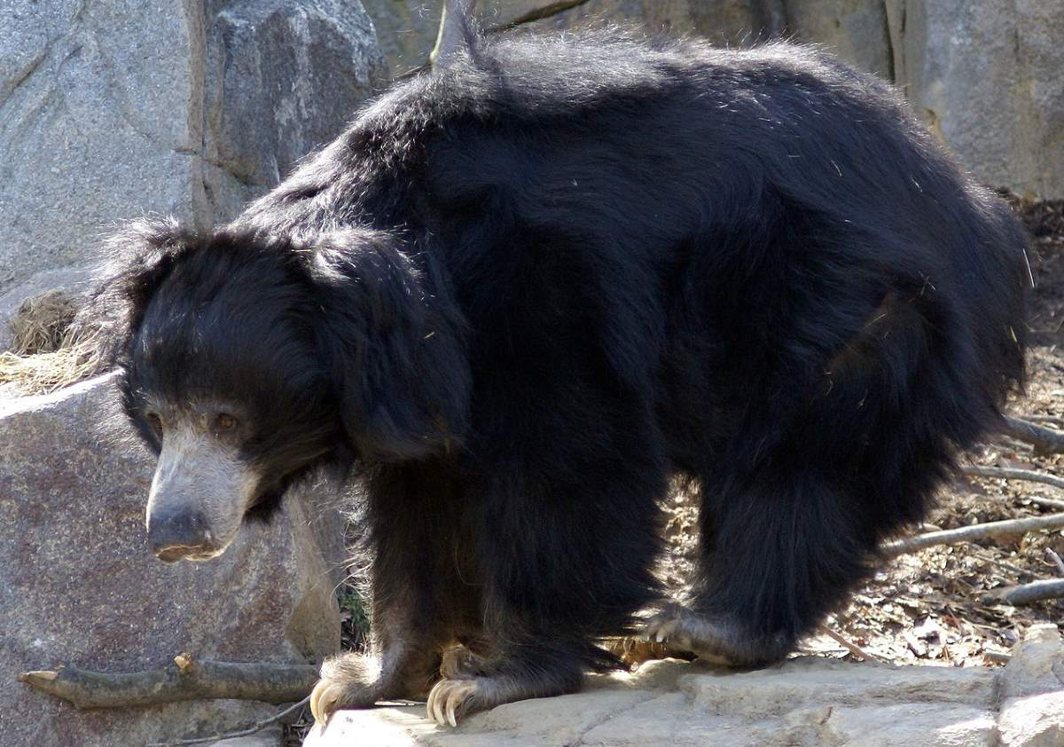 Most powerful bite forces in carnivore land mammals: Sloth Bear