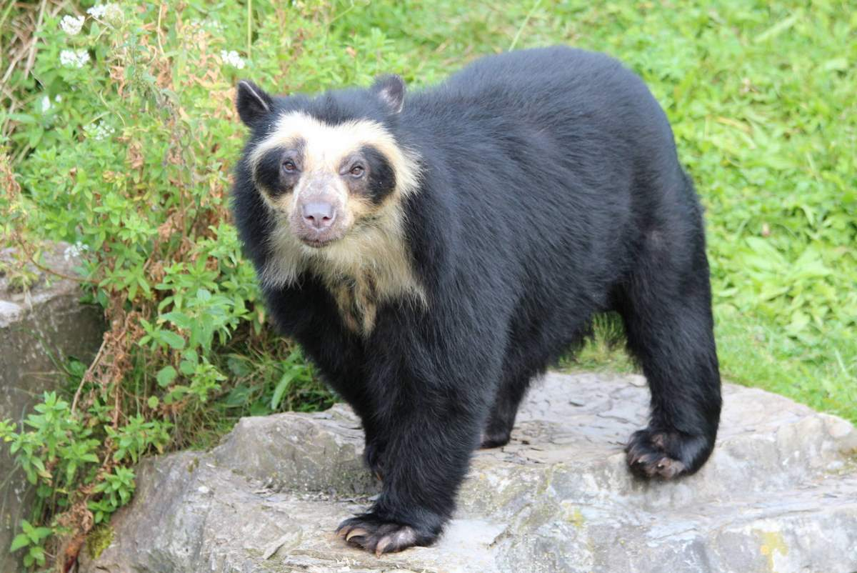 Most powerful bite forces in carnivore land mammals: Spectacled Bear