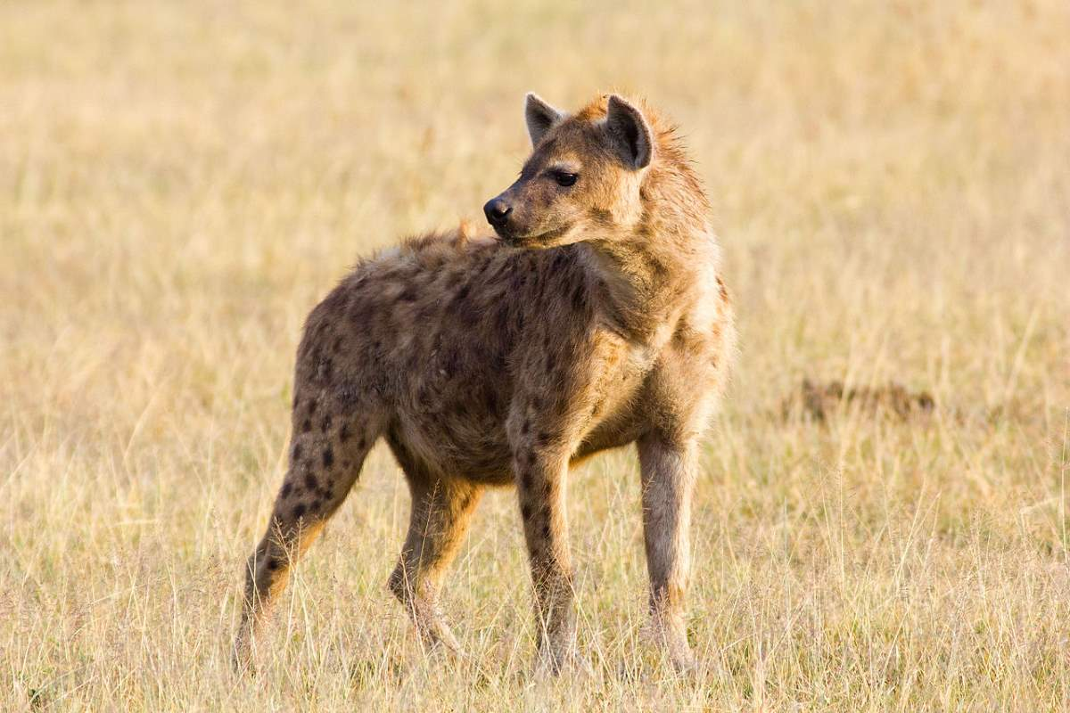 Most powerful bite forces in carnivore land mammals - Spotted Hyena (Crocuta crocuta)