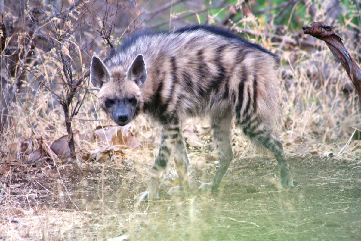 Most powerful bite forces in carnivore land mammals - Striped Hyena
