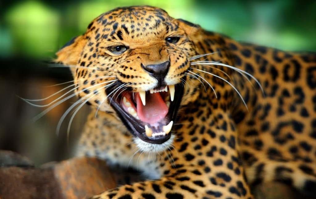 Jaguar facts: they have a strong bite