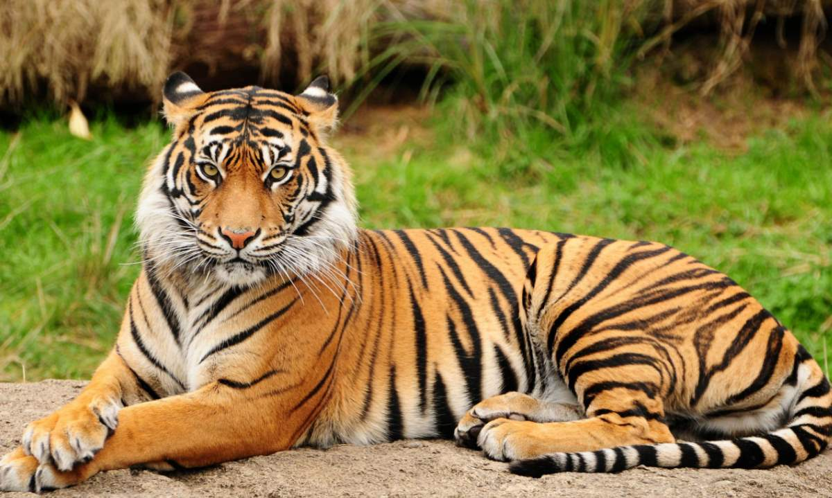 Most powerful bite forces in carnivore land mammals - Tiger