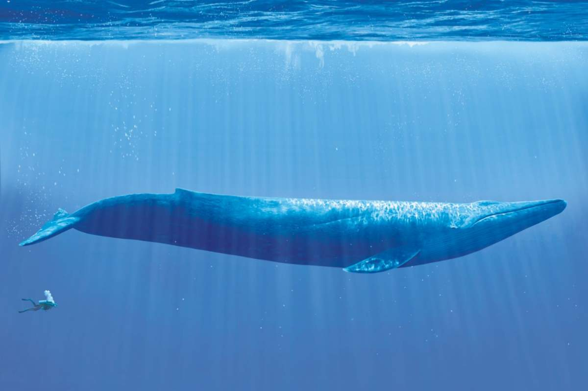 Largest prehistoric mammals - Blue whale and diver