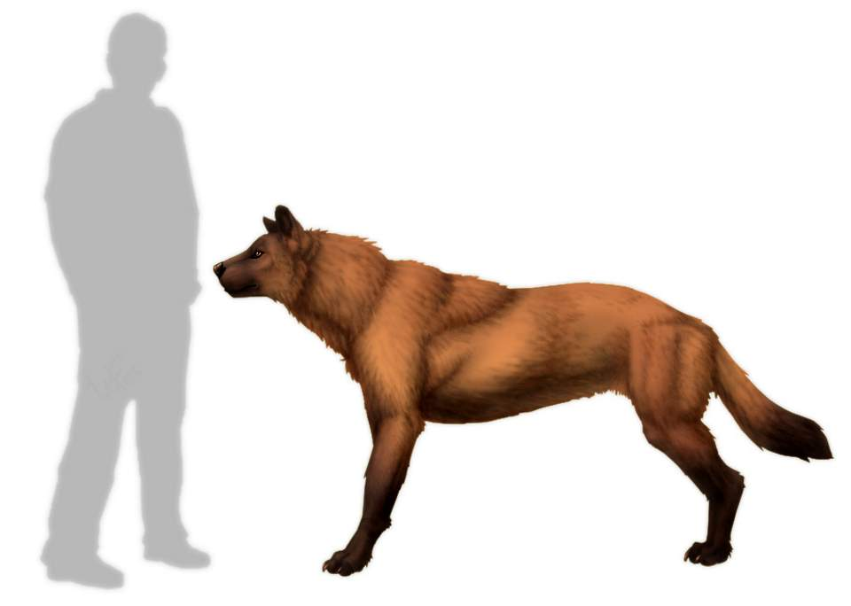 Epicyon vs human size comparison