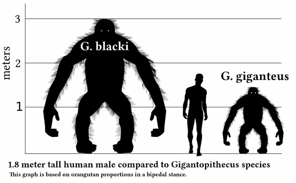 Gigantopithecus vs human size comparison