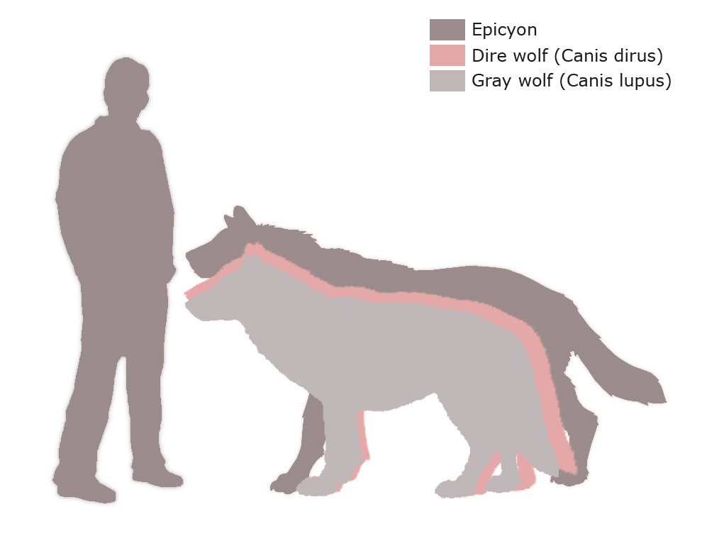 Epicyon vs Dire wolf vs Gray wolf | Our Planet