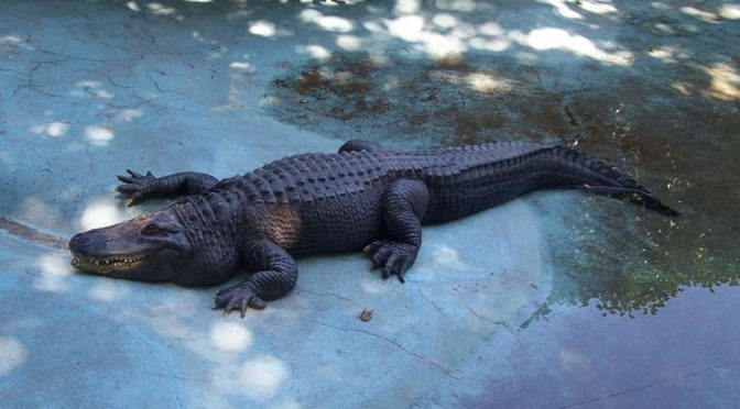 The Largest Alligator Ever Measured Our Planet